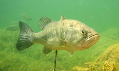 Le black bass © Shutterstock